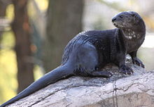 Spotted-necked otter.jpg