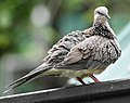 Spotted dove -- Spilopelia chinensis (Cropped).jpg