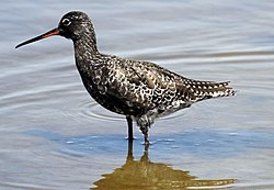 Spotted redshank breeding plumage.jpg