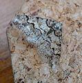 Spring Usher. Agriopis leucophaearia. Geometridae. Ennominae - Flickr - gailhampshire.jpg