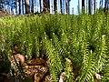 Sprossender Bärlapp Lycopodium annotinum-004.jpg