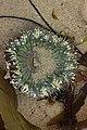 Starburst Anemone - Anthopleura sola (29575280008).jpg