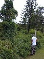 Starr-020620-0080-Coccinia grandis-climbing habit with Russell-Kapalua-Maui (23921802984).jpg