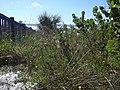 Starr-031108-0211-Dysphania ambrosioides-habit-Siesta Key Beach-Florida (24674619995).jpg
