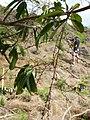 Starr-051029-8354-Charpentiera obovata-flowers-Auwahi-Maui (24755543431).jpg
