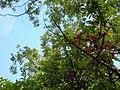 Starr-060306-6602-Syzygium malaccense-flowers-Hana Hwy-Maui (24764758121).jpg