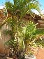 Starr-060922-9184-Chrysalidocarpus lutescens-habit-DLNR baseyard Kahului-Maui (24237640524).jpg