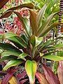 Starr-060928-0445-Cordyline fruticosa-habit-County Nursery Kahului-Maui (24866501625).jpg
