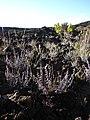 Starr-061003-0818-Pellaea ternifolia-habit-Halemauu Trail HNP-Maui (24841108756).jpg