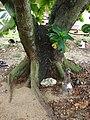 Starr-080607-7246-Terminalia catappa-trunk with Laysan albatross-Medical clinic Sand Island-Midway Atoll (24822455211).jpg