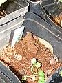 Starr-081031-0409-Coriandrum sativum-seedling-Makawao-Maui (24631246000).jpg
