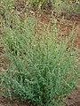 Starr-090426-6378-Chenopodium album-fruiting habit-Lower Kula Rd Kula-Maui (24926354556).jpg