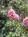 Starr-090720-3050-Lagerstroemia indica-flowers-Waiehu-Maui (24943846066).jpg