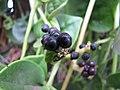 Starr-090806-3824-Basella alba-fruit-Wailuku-Maui (24603746509).jpg