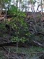 Starr-091115-1137-Fraxinus uhdei-beginning fall foliage-Olinda-Maui (24622312849).jpg
