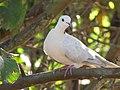 Starr-100113-1213-Psidium guajava-branches with ringneck dove-Waihee-Maui (24376094744).jpg