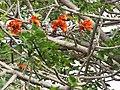 Starr-100114-1257-Erythrina sp-flowers and leaves-Enchanting Floral Gardens of Kula-Maui (24639213119).jpg