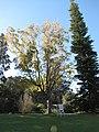 Starr-110209-0550-Carya illinoinensis-habit fall colors-MISC Piiholo-Maui (25073949365).jpg