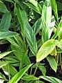 Starr-110215-1457-Alpinia zerumbet-variegated leaves-Kihei-Maui (24445641304).jpg