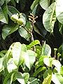 Starr-110330-4029-Canarium ovatum-fruit and leaves-Garden of Eden Keanae-Maui (24962971182).jpg