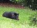 Starr-110408-4877-Macadamia integrifolia-habit with pig-Piiholo-Maui (24451742154).jpg