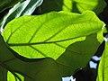 Starr-120513-5858-Ficus lyrata-leaves-Waihee Coastal Preserve-Maui (25024431542).jpg