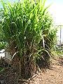 Starr-120614-7393-Cenchrus purpureus-green bana grass planting-Waihee-Maui (24777915799).jpg
