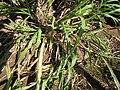 Starr-120614-7395-Cenchrus purpureus-green bana grass planting-Waihee-Maui (25145626355).jpg