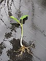 Starr-120620-7542-Jatropha curcas-seedling-Kula Agriculture Park-Maui (24515192254).jpg