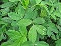 Starr-130221-1607-Arachis hypogaea-leaves-Waihee-Maui (25205841285).jpg