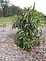 Starr-130504-4349-Persea americana-Little Cado habit-Hawea Pl Olinda-Maui (24914928510).jpg
