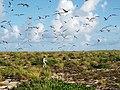 Starr-130915-1622-Eragrostis variabilis-habit with Kim and Sooty Terns in flight-SW Inland-Laysan (24594746084).jpg