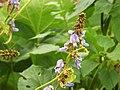 Starr-131002-2408-Pachyrhizus erosus-flowers-Hawea Pl Olinda-Maui (24596705184).jpg