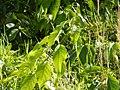 Starr-140222-0330-Banisteriopsis caapi-leaves-Haiku-Maui (24872812549).jpg
