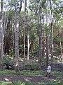 Starr 020925-0010 Flindersia brayleyana.jpg