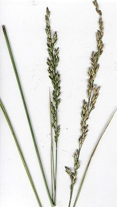 Festuca arundinacea - Wikipedia, la enciclopedia libre