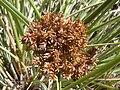 Starr 030625-0009 Cyperus javanicus.jpg