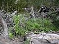 Starr 031114-0008 Asparagus asparagoides.jpg