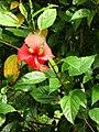 Starr 050107-2959 Hibiscus rosa-sinensis.jpg