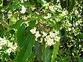 Starr 050216-4044 Pittosporum undulatum.jpg