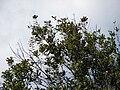 Starr 070215-4508 Macadamia integrifolia.jpg