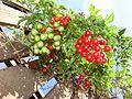 Starr 070228-4912 Solanum seaforthianum.jpg