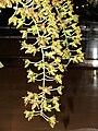 Starr 070727-7722 Unknown orchidaceae.jpg