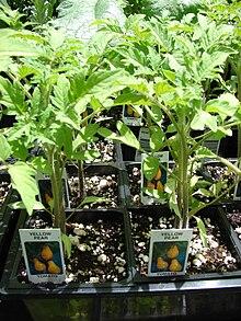 Plug (horticulture) - Wikipedia