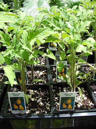 Plug (horticulture) - Plugs of yellow pear tomatoes