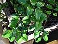 Starr 080103-1189 Jasminum simplicifolium.jpg