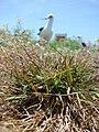 Starr 080602-5504 Eragrostis amabilis.jpg