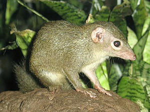 https://upload.wikimedia.org/wikipedia/commons/thumb/c/cd/Stavenn_Tupaia_glis_00.jpg/300px-Stavenn_Tupaia_glis_00.jpg