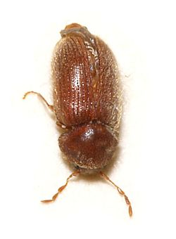 Drugstore Beetle Wikipedia