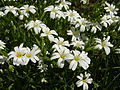 Stellaria holostea flowers and buds - 20100428.jpg